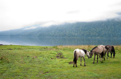 Horses love. On the foggy lake Stock Photography