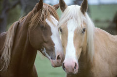 Horses In Love. Portrait of two horses nuzzlin Royalty Free Stock Image