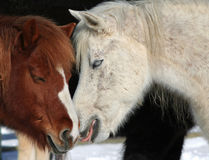 Horses in Love. Two horses in 2 different colors close to each other and one licking other to show his love Stock Photography