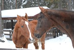 Horses love. Two beautiful red horses. Love Royalty Free Stock Photography