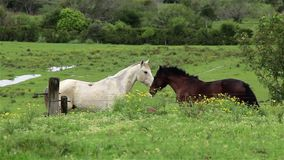 Horses In Love stock footage