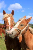 Horses In love. Portrait of two beautiful horses nuzzlin in love Stock Image