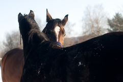 Horses in love portrait Royalty Free Stock Photos