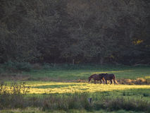 Horses on a lush meadow. In the evening sun royalty free stock photo