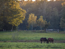 Horses on a lush meadow. In the evening sun Stock Images
