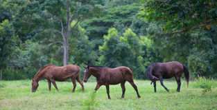 Horses in Lush Tropical Setting. Horses grazing on field in Hawaii Royalty Free Stock Photo