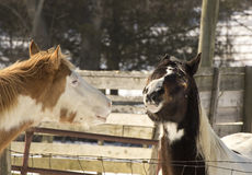 Horses Making Funny Faces Royalty Free Stock Image