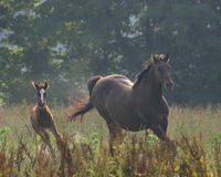 Horses Making the Turn. Mother and foal running at full gallop stock photography
