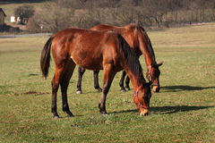 Horses Mammals Farm Royalty Free Stock Images