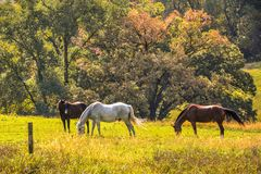 Horses Are Man`s Best Friend. There is nothing more beautiful than horses peacefully  grazing in a pasture. They are truly man`s best friend Royalty Free Stock Photo