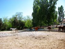 Horses. Mangalia horses in their own environment Stock Image