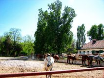 Horses. Mangalia horses in their own environment Royalty Free Stock Photography