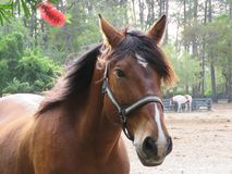 Horses of many colors are lovely animals. These are photos of different breeds of horses and thus different shades of brown, black or multicolored royalty free stock photos