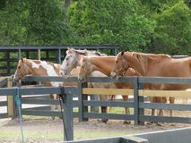 Horses of many colors are lovely animals. These are photos of different breeds of horses and thus different shades of brown, black or multicolored stock images