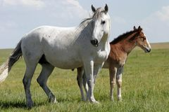 Horses - Mare and Baby (wide). A pregnant mare and her yearling stand in a wild landscape in the American West (shallow focus stock image