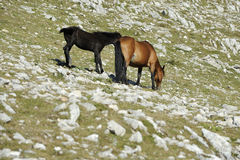 Horses, mare and colt Royalty Free Stock Photo
