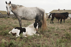 Horses, mare and a foal Royalty Free Stock Photos