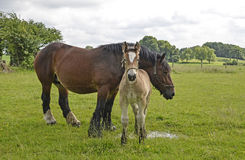 Horses, mare and foal Stock Photography
