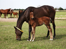 Horses mare and foal eating in the meadow Royalty Free Stock Photography