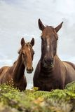 Horses. Mare and foal in farm royalty free stock image