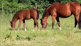 Horses, mare and foal grazing on meadow stock footage