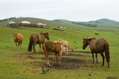 Horses and mares. In mongolian country Royalty Free Stock Photography