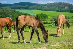 Horses, mares and their foals, grazing on green grass in a pasture. Warm blood horses, mares and their foals, grazing on green grass in a pasture, sunny spring royalty free stock photo