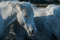 Horses in the marsh. Horses gathering in the marshes of the camargue in southern france stock photo