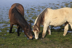 Horses in a marsh. Two horses eating in a marsh Royalty Free Stock Photos