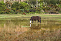 Horses in marshes Royalty Free Stock Photography