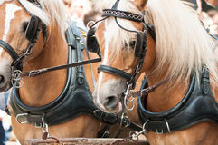Horses. A matched pair of draft horses ready to plow a field Stock Photo