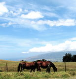 Horses on Maui royalty free stock photos