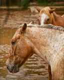 Horses in the meadow. Two brown horses in a flooded meadow. Focus on the horse of the foreground Royalty Free Stock Images