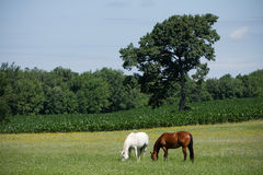 Horses in Meadow Stock Photography
