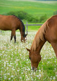 Horses on the meadow. Two horses on the meadow Royalty Free Stock Photography