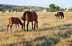 Horses on meadow Stock Images