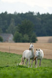 Horses in the meadow Royalty Free Stock Images