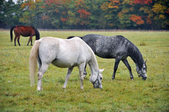 Horses on the meadow Stock Image