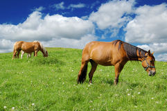Horses in the meadow Stock Photography