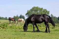 Horses in the meadow Royalty Free Stock Image