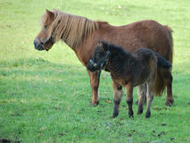 Horses in meadow. Two horses in a meadow royalty free stock photos