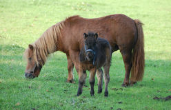 Horses in meadow Royalty Free Stock Photos