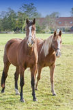 Horses in a meadow Stock Image