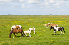 Horses on a meadow. Several horses in a meadow near Burg en Waal on the island of Texel Royalty Free Stock Image