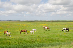 Horses in meadow. Several horses in a meadow near Burg en Waal on the island of Texel Royalty Free Stock Images