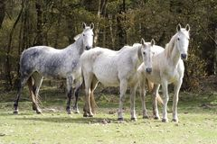 Horses in a meadow, Royalty Free Stock Photo