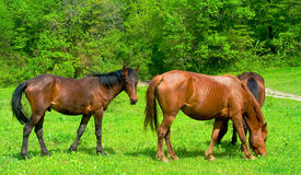 Horses on a meadow. Herd of horses peacefully grazing on a meadow royalty free stock image