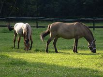 Horses on a meadow Royalty Free Stock Photo