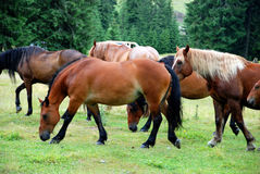 Horses in meadow. A pack of horses in the meadow Stock Image