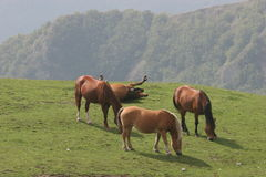 HORSES IN THE MEADOW. A pack of horses in the meadow Royalty Free Stock Photo